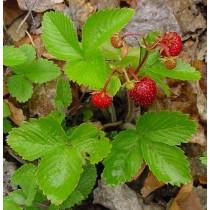 Fragaria vesca semp., Monatserdbeeren  Pflanzen