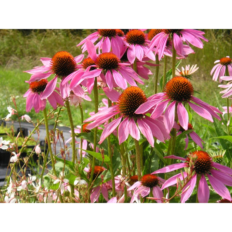 blauetikett echinacea purpurea igelkopf sonnenhut pflanze pflanzen. Black Bedroom Furniture Sets. Home Design Ideas